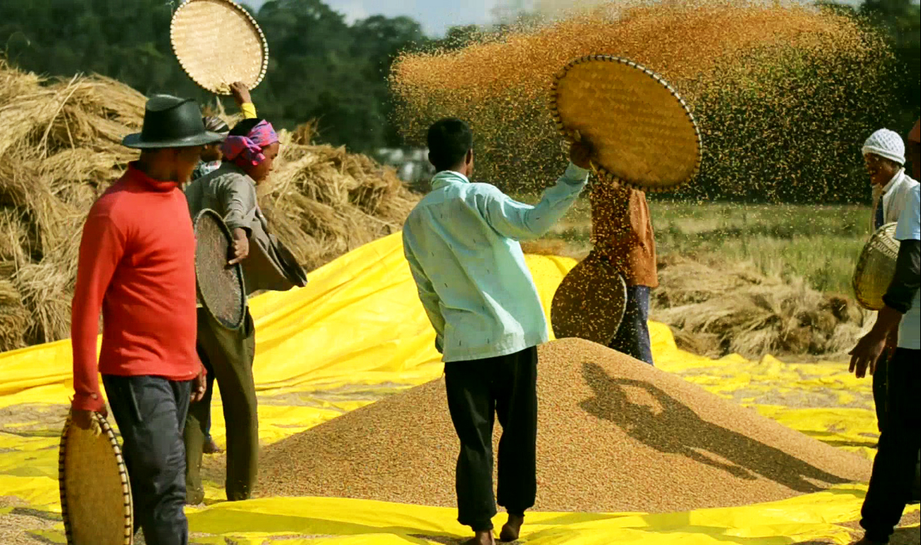 Threshing of rice during the harvest at Khweng. Photo: NESFAS/ Donboklang Majaw